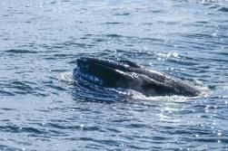 Whale-24