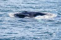 Whale-25