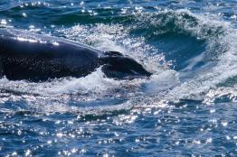 Whale-26