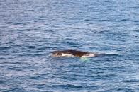 Whale-30